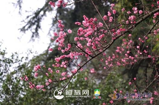 疏影横斜报春花 春来嘉州共新景