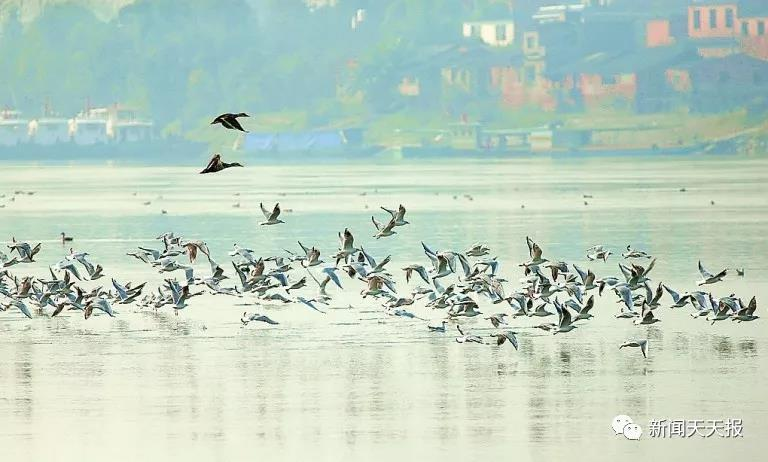 乐山人不可错过的美景来了,就在三江汇流处