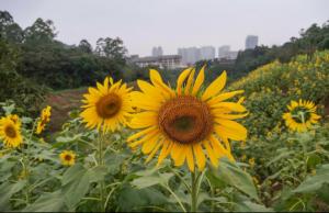 向日葵全开了,有要一起去绿心公园拍照的吗?